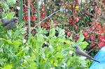 エンドウの花に群れるヒヨドリ;クリックすると大きな写真になります