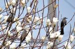 白木蓮に群れるヒヨドリ;クリックすると大きな写真になります