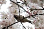 珍しくスズメが桜に;クリックすると大きな写真になります