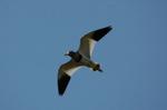 ケリの飛翔;クリックすると大きな写真になります
