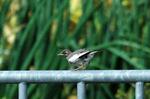 ムクドリの幼鳥;クリックすると大きな写真になります