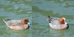 合成 ヒドリガモ 右♂ 左♀:田辺池;クリックすると大きな写真になります