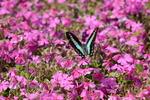 芝桜にアオスジアゲハ:和泉リサイクル環境公園;クリックすると大きな写真になります