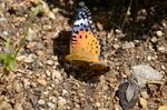 ツマグロヒョウモン♀:花の文化園;クリックすると大きな写真になります