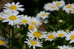 ベニシジミ:花の文化園;クリックすると大きな写真になります
