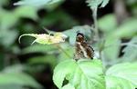 サカハチチョウ:Hütte Hachi;クリックすると大きな写真になります。