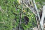 コジャノメ:松尾寺地区;クリックすると大きな写真になります。