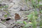 テングチョウ:堺ふるさと自然の森;クリックすると大きな写真になります。