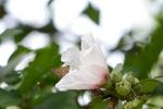 ムクゲの花にコチャバネセセリ:鉢ヶ峰;クリックすると大きな写真になります。