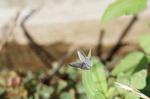 ヤマトシジミ開翅:檜尾;クリックすると大きな写真になります。