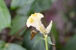 白色のトサカケイトウにイチモンジセセリ:花の文化園;クリックすると大きな写真になります。