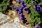 サルビアにモンシロチョウ:花の文化園;クリックすると大きな写真になります。