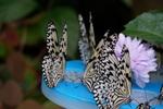 蜜台にむらがるオオゴマダラ:伊丹昆虫館;クリックすると大きな写真になります。