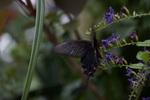 ジャコウアゲハ:伊丹市昆虫館;クリックすると大きな写真になります。