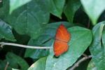 カバタテハ:伊丹市昆虫館;クリックすると大きな写真になります。