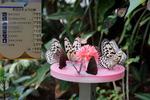 蜜台にむらがるツマムラサキマダラ?など:伊丹市昆虫館;クリックすると大きな写真になります。