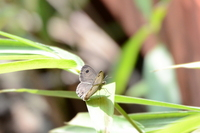 ヒメウラナミジャノメ:松尾寺;クリックすると大きな写真になります。