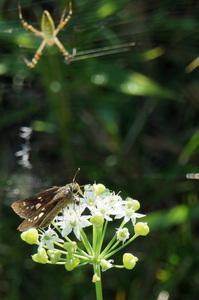 オオチャバネセセリ:野々井