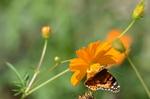 キバナコスモスにヒメアカタテハ:桃山台;クリックすると大きな写真になります。