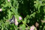 ランタナにアゲハチョウ:桃山台;クリックすると大きな写真になります。