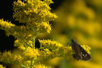 イチモンジセセリ:松尾寺;クリックすると大きな写真になります。