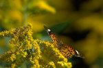 ツマグロヒョウモン♀:松尾寺;クリックすると大きな写真になります。