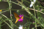 コスモスにツマグロヒョウモン♂:松尾寺;クリックすると大きな写真になります。
