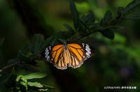 スジグロカバマダラ:伊丹市昆虫館;クリックすると大きな写真になります。