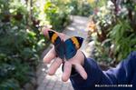 コノハチョウの開翅;クリックすると大きな写真になります。