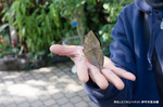 羽化したてのコノハチョウ;クリックすると大きな写真になります。