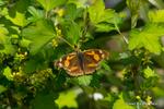 ヤブサンザシにテングチョウ;クリックすると大きな写真になります。