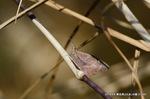 閉翅したテングチョウ;クリックすると大きな写真になります。