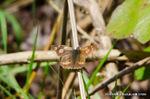 開翅したテングチョウ;クリックすると大きな写真になります。