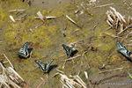 吸水行動をするアゲハチョウ:野々井;クリックすると大きな写真になります。