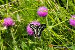 ノアザミにアゲハチョウ:松尾寺谷戸;クリックすると大きな写真になります。