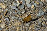 コチャバネセセリ:六甲山高山植物園あたり;クリックすると大きな写真になります。