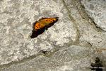 ヒオドシチョウ:六甲高山植物園;クリックすると大きな写真になります。