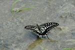 吸水するアゲハチョウ;クリックすると大きな写真になります。
