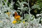 ツマグロヒョウモン:温室前;クリックすると大きな写真になります。
