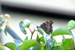 ヒオドシチョウ:隣の梅の木に;クリックすると大きな写真になります。