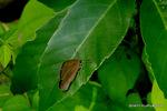 ムラサキシジミ閉翅:松尾寺林道;クリックすると大きな写真になります。