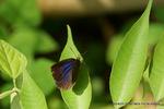 ムラサキシジミ半開翅:松尾寺林道;クリックすると大きな写真になります。
