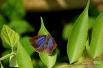 ムラサキシジミ開翅:松尾寺林道;クリックすると大きな写真になります。