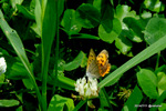 シロツメクサにベニシジミ:野々井;クリックすると大きな写真になります。