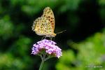 アレチノハナガサにツマグロヒョウモン♂:野々井;クリックすると大きな写真になります。
