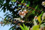 アベリアにアゲハ:桃山台公園;クリックすると大きな写真になります。