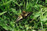 羽化したばかりのキアゲハ♂:檜尾;クリックすると大きな写真になります。