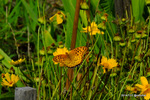 キバナコスモスにツマグロヒョウモン♂:檜尾;クリックすると大きな写真になります。