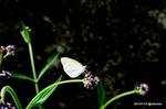 アレチノハナガサにモンシロチョウ:鉢ヶ峯;クリックすると大きな写真になります。
