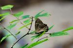 ヒカゲチョウ;クリックすると大きな写真になります。